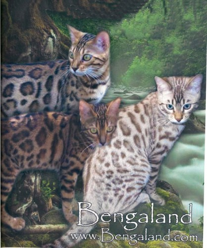 Bengaland Bengals – Certified Reputable Breeder
