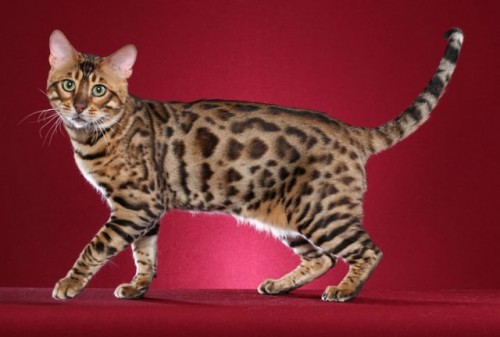 Anjou Bengals – Certified Reputable Breeder