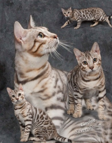 Cavscout Bengals – Certified Reputable Breeder
