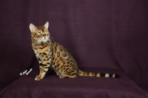 Aspengold Bengals – Certified Reputable Breeder