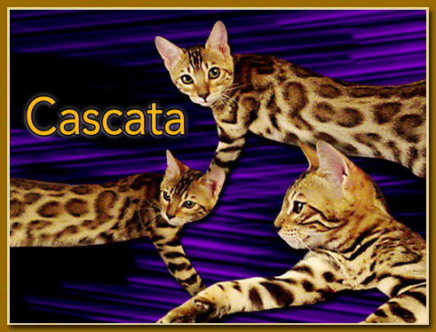 Palm Beach Bengals – Certified Reputable Breeder