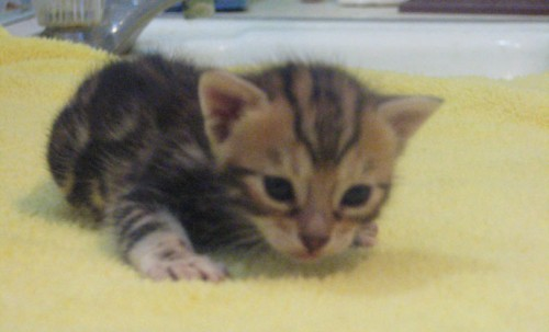 Exceptionally Well Socialized Bengal Kittens Available