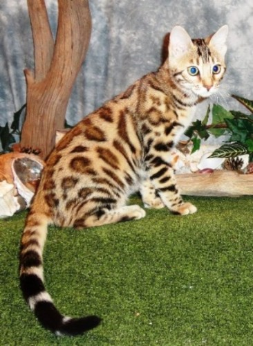 Hot Spotz Bengals – Certified Reputable Breeder