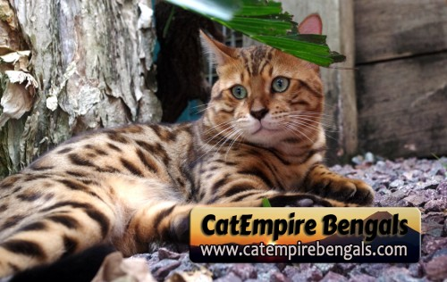 CatEmpire Bengals – Certified Reputable Breeder