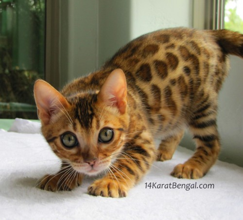 14Karat Bengal offering Top Quality Kittens with the Highest Level of Socialization, Stunning Beauty, Type and Coloration.