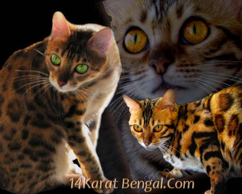 14KaratBengal – Certified Reputable Breeder