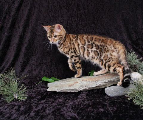 Exoticlegends Bengals – Certified Reputable Breeder