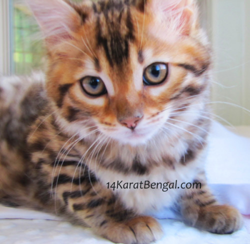 NEW 14KaratBengal Cashmere Bengal Rosetted Female! She is spectacular!!!