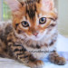 NEW 14KaratBengal Cashmere Bengal Rosetted Female — She is spectacular!!!