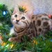 Padfoot wants his forever home for Christmas! Cynidon Bengals