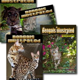 Subscription to Bengals Illustrated Magazine – Print, CD or Digital