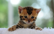 Read Bengals Illustrated for All You Need To Know About Bengal Cat