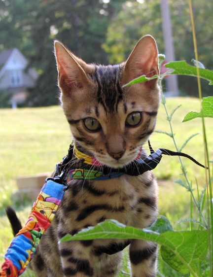 Are Bengal Cats Hypoallergenic?