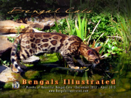 Bengals Illustrated 17 Month Calendar 2013 – April 2015