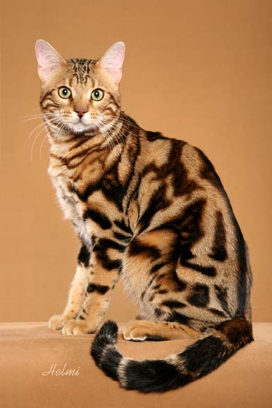 Is My Cat A Bengal? | Bengal Cats – Bengals IllustratedOrange And White Bengal Cat
