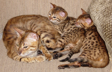 A Bengal mom with her kittens