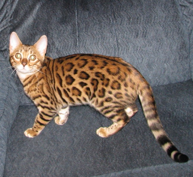 Bengal kittens for adoption in wisconsin