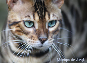 #Bengalcats are the most popular breed in the world