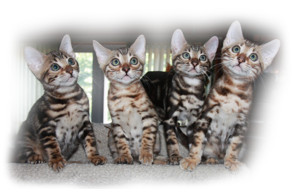 What you need to know before you buy a Bengal kitten