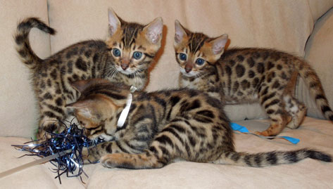 Are bengal cats good with babies