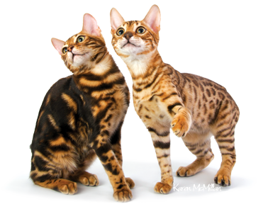 Marbled Bengals and Spotted Bengal